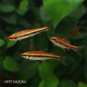 ナノストムス・ベックフォルディ・レッド 1匹 観賞魚 魚 アクアリウム 熱帯魚 カラシン 小型 ペット