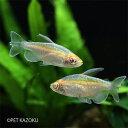 アルビノコンゴーテトラ 1匹 観賞魚 魚 アクアリウム 熱帯魚 カラシン アルビノ ペット