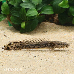 ポリプテルス ラプエン (ラプラディ×エンドリケリー) (ブリード) 1匹 (4〜5cm程度) 観賞魚 魚 アクアリウム 熱帯魚 ポリプ 古代魚