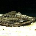 オレンジスポットセルフィンプレコ 1匹 観賞魚 魚 アクアリウム 熱帯魚 プレコ ブリード ペット