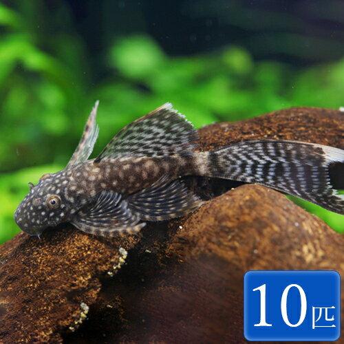 ロングフィンブッシープレコ 10匹 観賞魚 魚 アクアリウム 熱帯魚 ペット