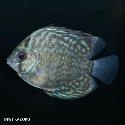 ブルーロイヤルディスカス (M) 1匹 ディスカス アメリカンシクリッド シクリッド 観賞魚 魚 アクアリウム 熱帯魚 ペット