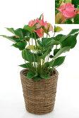 アンスリウム アンスリューム ピンクチャンピオン 鉢カバー付 観葉植物 アンスリウム 敬老の日