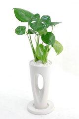モンステラの中では一番☆ヒメモンステラ 真ん中に穴の空いた白陶器ポット入り 【モンステラ】【インテリア】【観葉植物】【陶器】