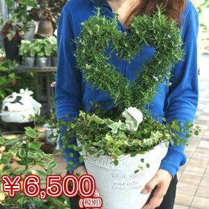 【ハーブの寄せ植え】【結婚祝・お誕生日・プレゼントに】ローズマリーハートのトピアリー寄せ植え