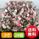 白やピンクの新芽が美しく、一年を通して花壇を華やかに彩ります。【送料無料】ハツユキカズラ...