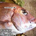 【スピード出荷】【日本海産】天然真鯛[生] 1匹(9kg前後)【佐川急便の場合があり・時間指定不可の場合があり】