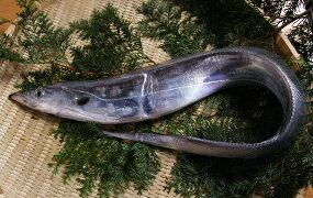 太刀魚 600g(山口県周防大島産 もしくは長崎のブランド五島太刀 )( 釣り たちうお タチウオ お刺身 )
