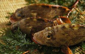 瀬戸内海産カサゴ(ホゴメバル かさご )1尾160g