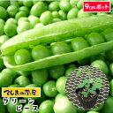 【てしまの苗】 グリーンピース実エンドウ苗 9cmポット 【野菜苗 培土 種 】 【ガーデニング】 【家庭菜園】