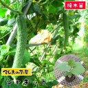 【てしまの苗】 キュウリ苗 シャキット 断根接木苗 9cmポット【人気】 野菜苗 培土 種