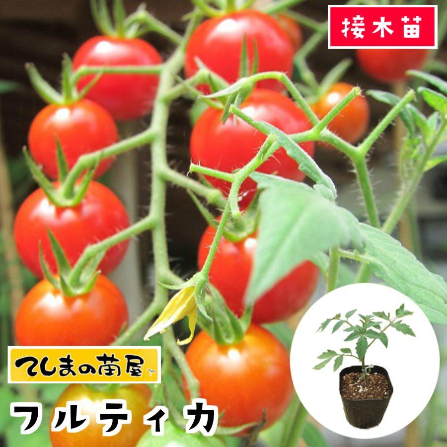 【てしまの苗】 中玉トマト苗 フルティカ 断根接木苗 9cmポット 野菜苗 培土 種