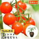 【てしまの苗】 【3株セット】 ミニトマト苗 断根接木苗 9cmポット 品種は選べません