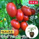 【てしまの苗】 ミニトマト苗 シシリアンルージュ断根接木苗 9cmポット 野菜苗 培土 種