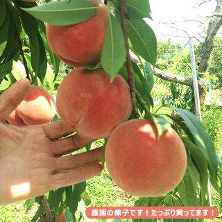 プレミアムピーチ福島特秀桃3kg箱(8〜16玉)