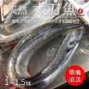 生 天然 太刀魚 タチウオ 丸一本 和歌山/九州産 他 豊洲直送 1-1.5kg【太刀魚1−1.5K】 冷蔵