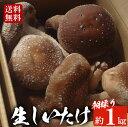 <期間限定>朝採り生しいたけ(約1kg) 肉厚!ジューシー!国産、京都の椎茸 送