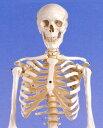 人体骨格模型 A10<3B>
