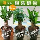 選べるミニ観葉植物4号陶器鉢【あす楽対応_花ギフト】