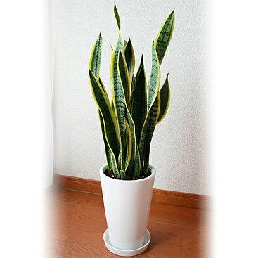 花のギフト社『サンスべリア 6号 陶器』
