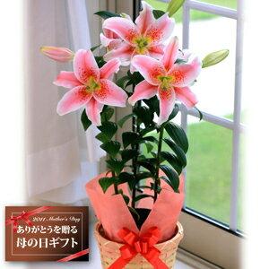 【安心価格いつでも最安値♪】昨年当店人気No1!甘い香りで大輪のお花が咲くピンクの百合♪【送...