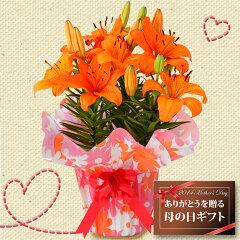 【母の日2014】昨年大人気の珍しいオレンジの百合♪球根植物で翌年も楽しめます♪【遅れてごめ...