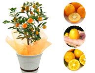 育てて楽しい、収穫も出来る!金柑鉢植え