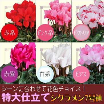 選べる花色 シクラメン 特鉢7号 鉢植え 歳暮 冬ギフト 誕生日 花 ギフト プレゼント 送料無料