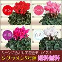 選べる花色 シクラメン 5号鉢 鉢植え 歳暮 冬ギフト 誕生日 花 ギフト プレゼント 送料無料