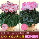 選べる品種 シクラメン 5号鉢 鉢植え ビクトリア ピアス 歳暮 冬ギフト 誕生日 花 ギフト プレゼント 送料無料