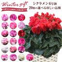 シクラメン 花 ギフト プレゼント 20種から選べる品種 お...