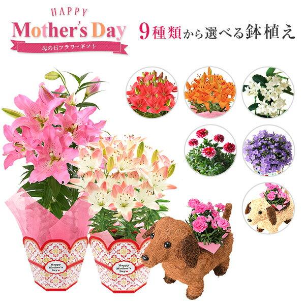 早割5%OFF母の日ギフトプレゼント花鉢植えカーネーション百合マダガスカルジャスミンダリアメリーベル東北〜関東〜関西9種類から選