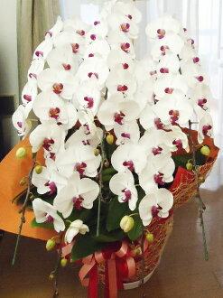 コチョウラン鉢赤リップ5本立ち48000円税込