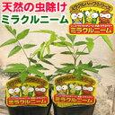 【1P】『ミラクルニーム』ニームの木 1ポット