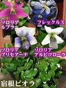 毎年咲く!宿根スミレ「ソロリアシリーズ」暗い所でもOK『宿根ビオラ』(スミレ):苗10.5cmポット