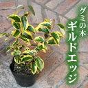 常緑のカラーリーフプランツ・常緑低木・黄色の外斑がとても鮮やか(ナワシログミ、グミ・ギル...