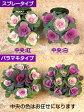 【予約】仕立てミニ葉牡丹(スプレータイプ/バラマキタイプ)10.5cmサイズ