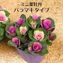 寄せ植え ミニ 葉牡丹 バラマキ ハボタン 専門店用苗 3....