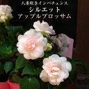 八重咲きインパチェンス シルエット アップルブロッサム 専門...