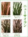 カラーリーフ・常緑多年草・寄せ植えの中心に!「ニューサイラン」9cmロングポット苗
