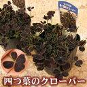 幸せの四つ葉のクローバーをグランドカバーに・芝生替わり・グランドカバー植物「四つ葉のクロ...