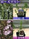 定番ハーブ・多年性・生育旺盛・かわいい小花・グランドカバー植物「ローズマリー」:9cmポット苗