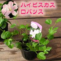 夏の花・ハイビスカスをグランドカバーに・芝生替わり・グランドカバー植物「ハイビスカス・ロ...