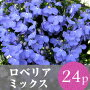 花苗ロベリア24ポットミックス