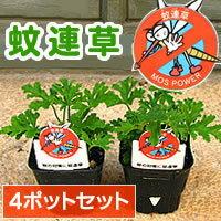【◎得4ポットセット】蚊対策で注目の『蚊連草』苗9cmポット