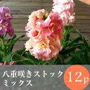ストック 八重咲 矮性品種 花苗 12ポットミックス セット