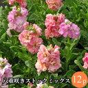 ストック 八重咲 矮性種 花苗 12ポットミックス セット[...