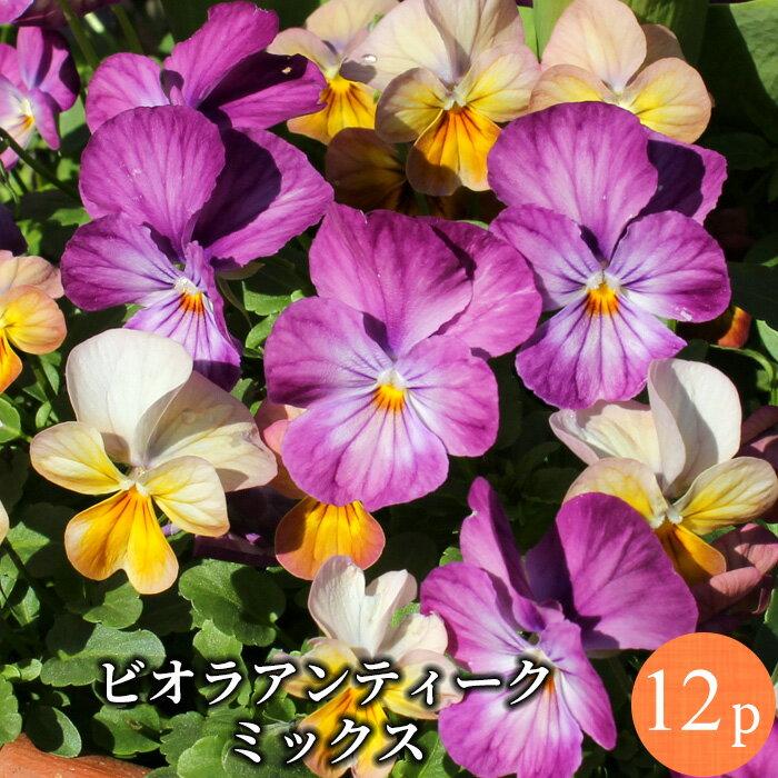 ビオラ アンティーク系品種 花苗 12ポットミックス セット[冬一年草]