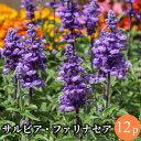 サルビア ファリナセア 12ポットミックス 花苗セット[春一...