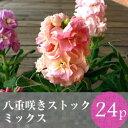 ストック 八重咲き矮性種 花苗 24ポットミックス